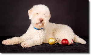 Photo of a Lagotto Romagnolo