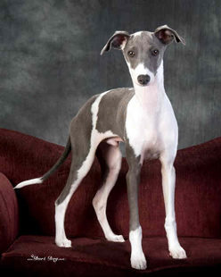 Photo of an Italian greyhound