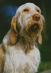 Photo of a Spinone Mysko Bringa