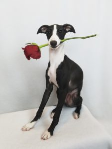 Roman, the Italian greyhound, photo