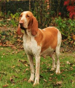 italian dog breed, bracco